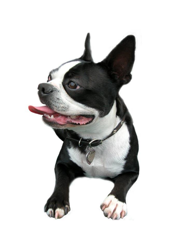 波士顿微笑的狗 库存图片