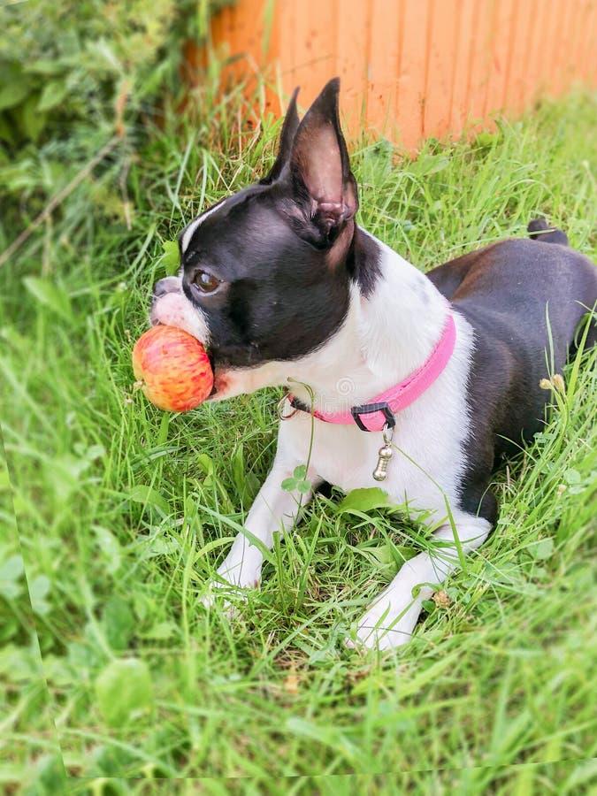 波士顿狗在草说谎并且拿着在他的牙的红色苹果计算机 免版税库存图片