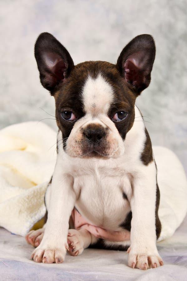 波士顿狗坐白色毛巾 免版税库存照片