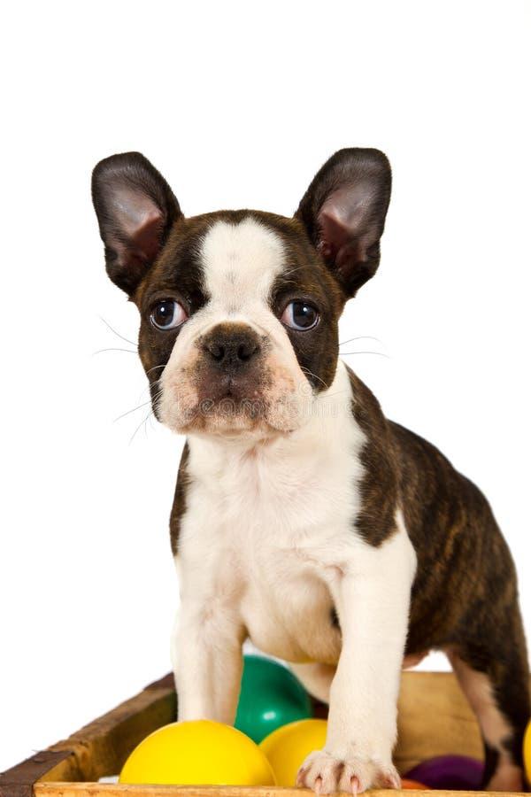波士顿狗小狗作用 库存照片