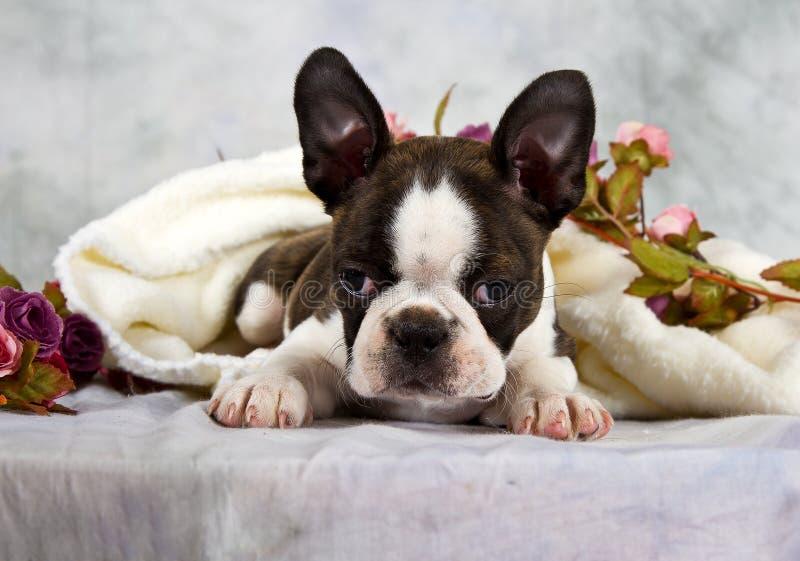 波士顿狗放置与花字符串 库存照片