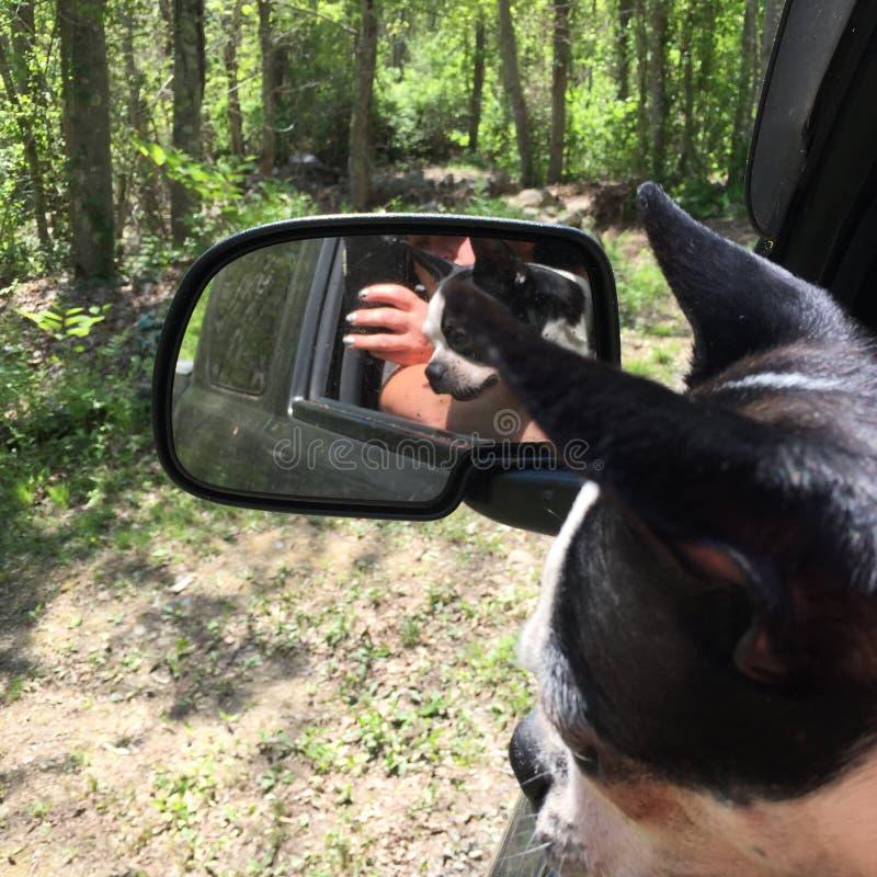波士顿狗驾驶 免版税库存图片