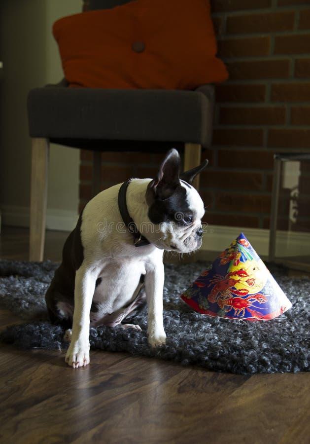 波士顿狗 免版税图库摄影