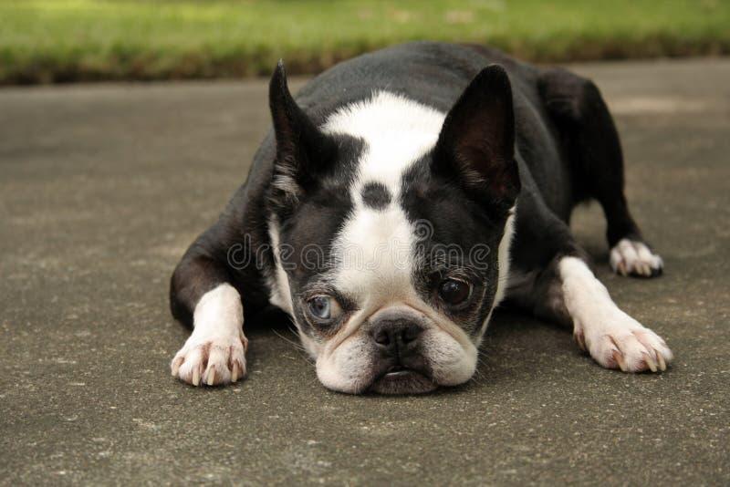 波士顿躺下的狗 库存图片