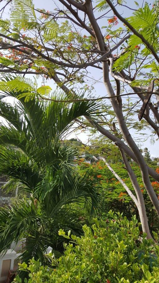 波多黎各的热带绽放 库存照片