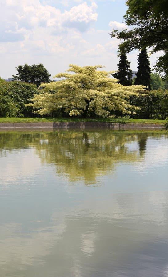 波斯合欢在日本庭院里 合欢树Julibrissin开花的树  库存图片