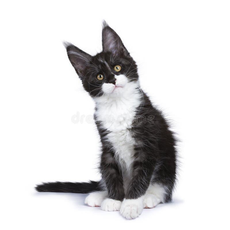 波斯小猫坐的直向前看 库存照片