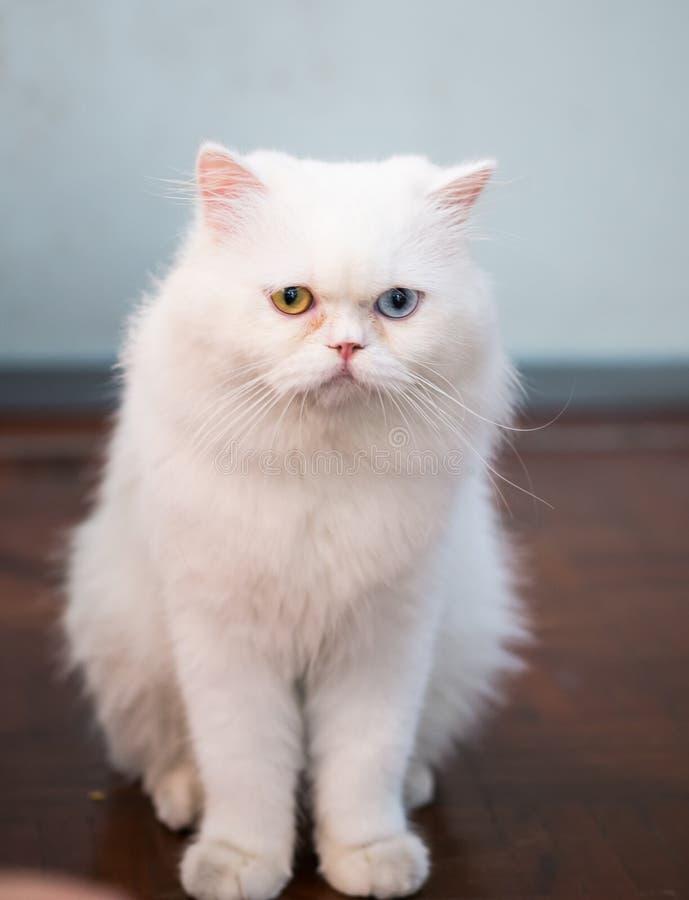 download 波斯猫两种颜色的眼睛 库存照片.