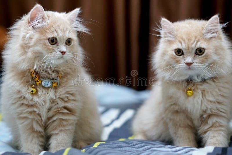 波斯猫逗人喜爱的浅黑肤色的男人 免版税库存照片
