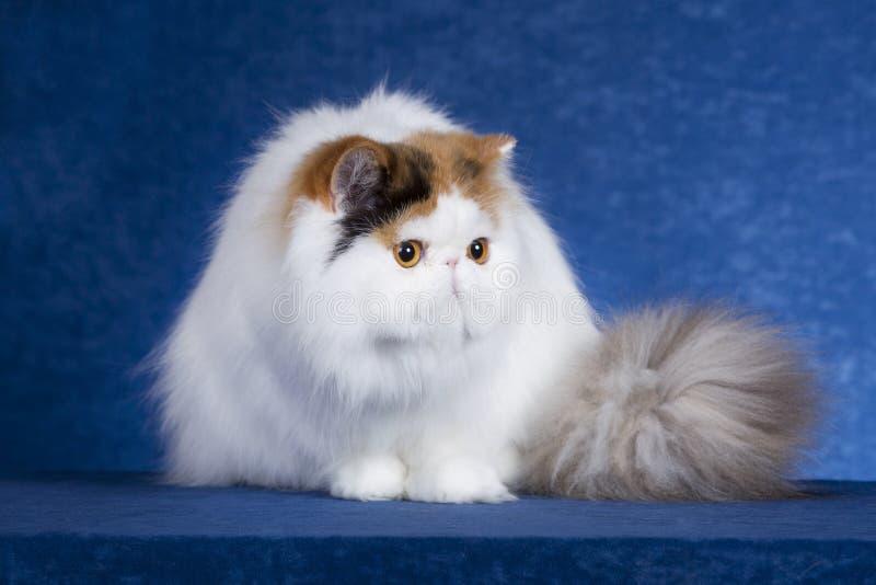 波斯猫1 库存图片