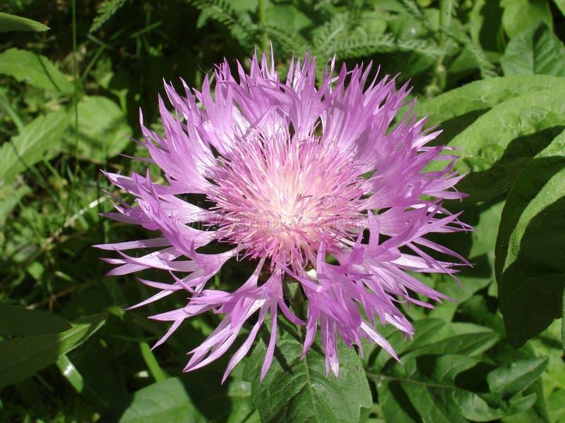 Download 波斯矢车菊紫罗兰色花在一个晴天 库存图片. 图片 包括有 春天, 玉米, 紫罗兰色, 波斯语, 矢车菊, 白涂料 - 72358605