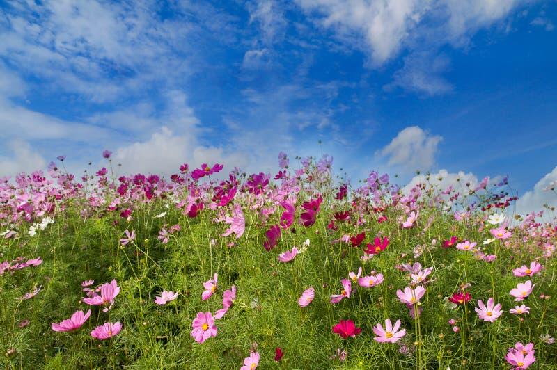 波斯菊在蓝天背景,春季的花田开花 免版税库存照片
