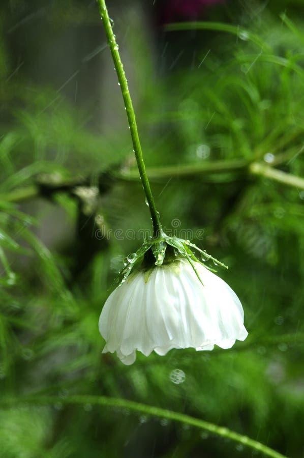 波斯菊在雨下落下的头状花序 免版税库存图片