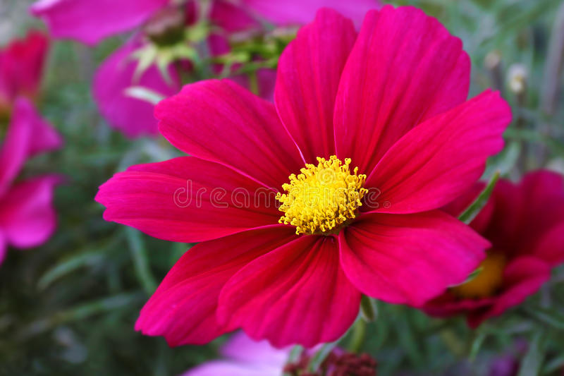 波斯菊奏鸣曲Flowerfield桃红色红色花田波斯菊bipinnatus 库存图片