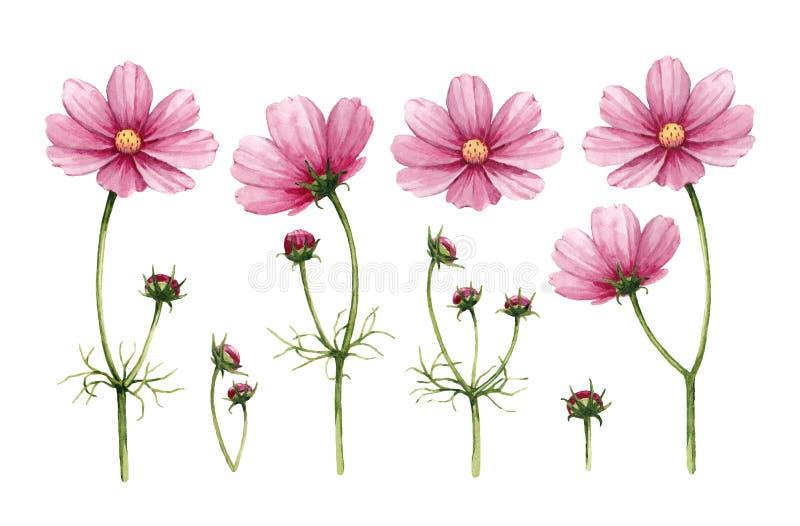 波斯菊开花汇集 向量例证
