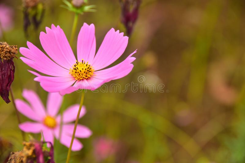 波斯菊桃红色美丽的花有Bur背景 免版税库存照片