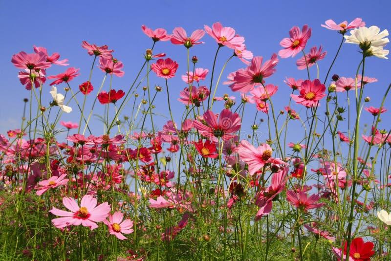波斯菊桃红色花在庭院里 库存照片
