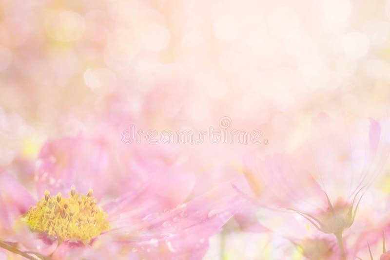 从波斯菊的抽象软的甜桃红色花背景开花 图库摄影