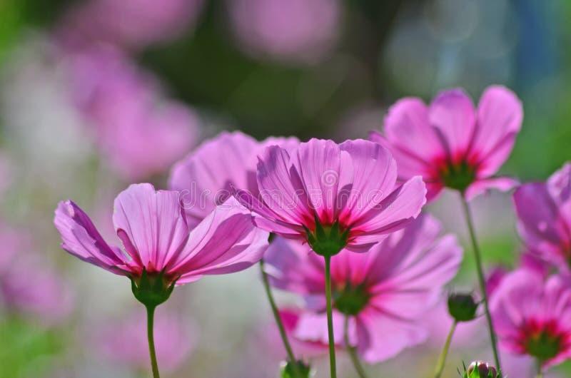 波斯菊的美丽的桃红色瓣在光开花 免版税库存照片