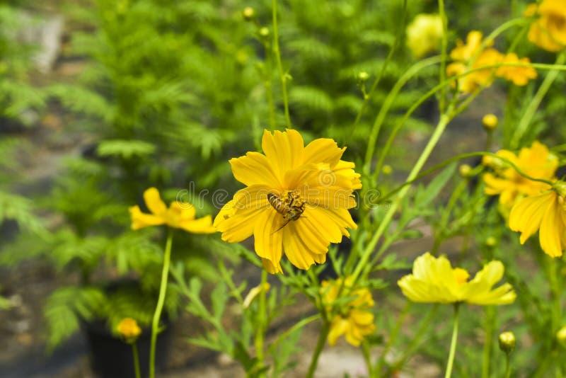 波斯菊花、黄色波斯菊花和蜂 库存图片