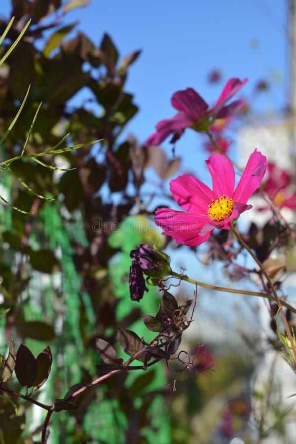 波斯菊花和cobaea叶子 阳台的小都市庭院在好日子 免版税图库摄影