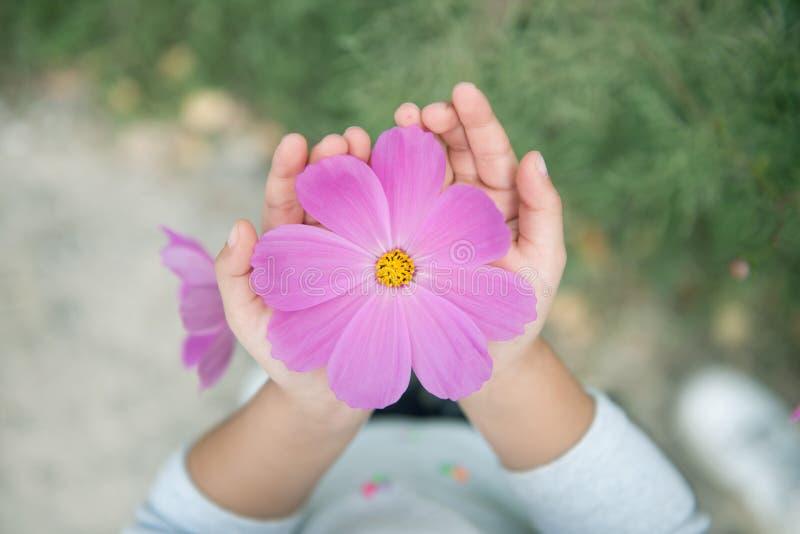 波斯菊花在儿童手上 免版税图库摄影