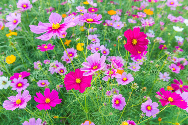 波斯菊花在庭院里 库存图片