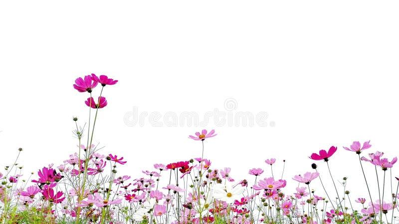 波斯菊花开花和在白色背景隔绝的绿色茎 库存照片