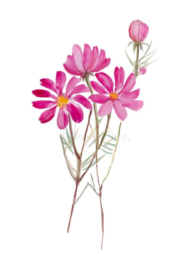 波斯菊花 在白色背景w,水彩,花,花,水,例证,背景的手拉的水彩绘画, 皇族释放例证
