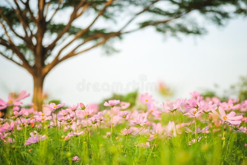 波斯菊bipinnatus在有树的庭院里开花开花 免版税库存照片