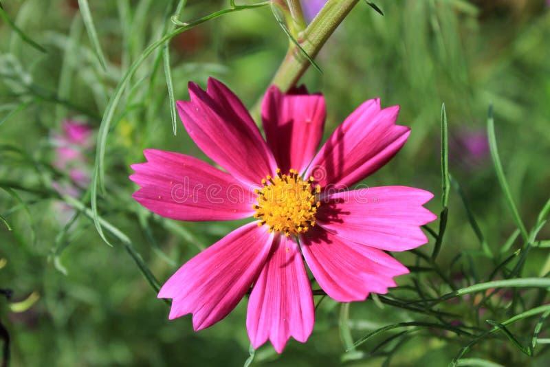 波斯菊bipinnatus桃红色唯一花,共同地叫庭院波斯菊 免版税库存图片