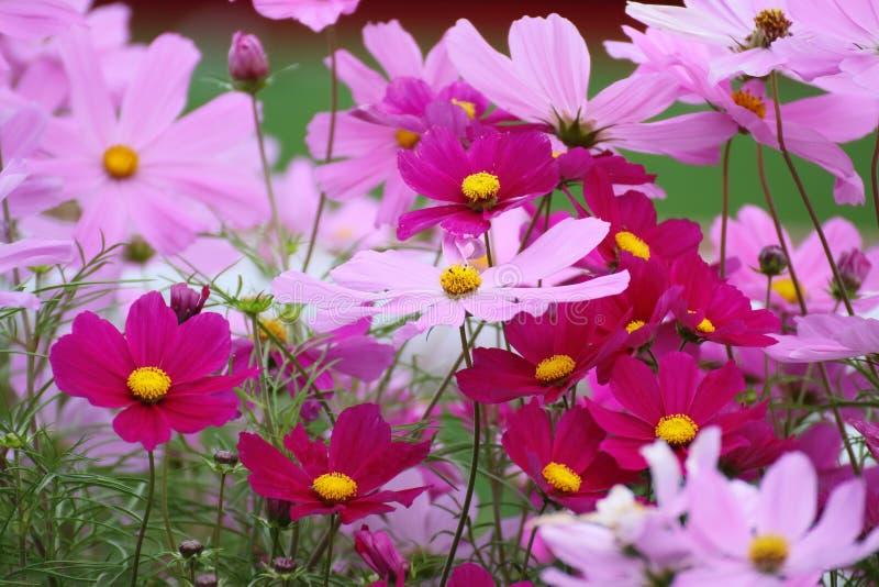 波斯菊bipinnatus花在庭院里 库存图片