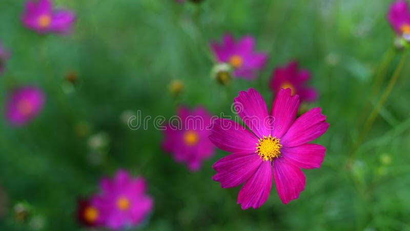 Download 波斯菊bipinnatus 库存图片. 图片 包括有 工厂, 夏天, 本质, 紫色, 波斯菊, 庭院, 向日葵 - 59101191