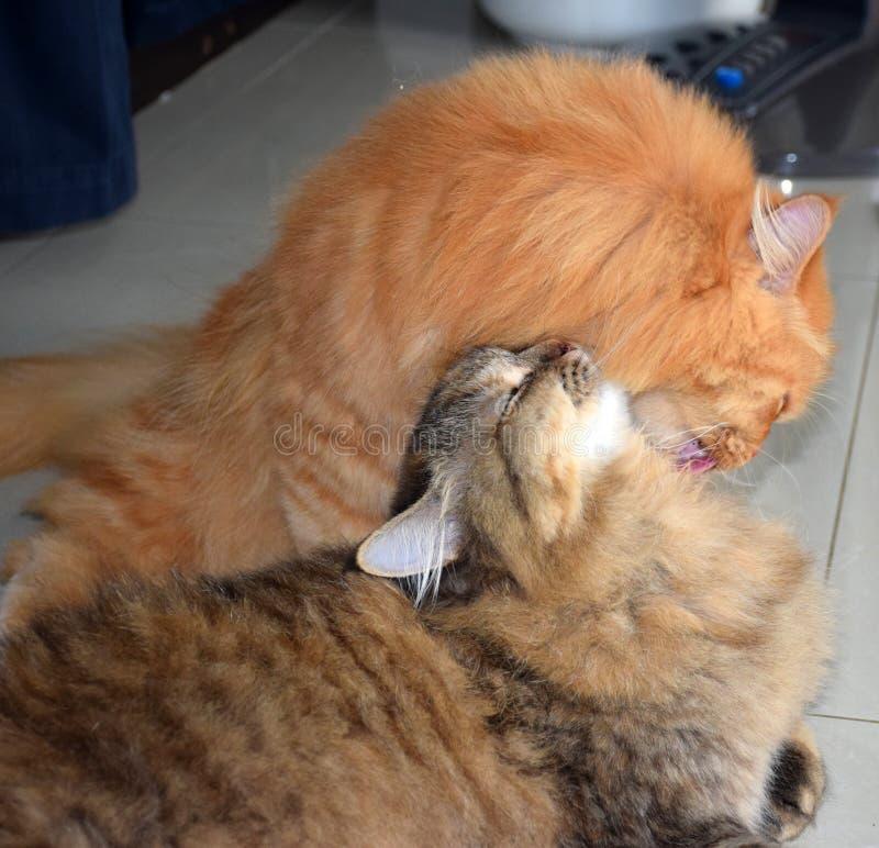 波斯语的猫 波斯猫一起是乐趣 库存照片