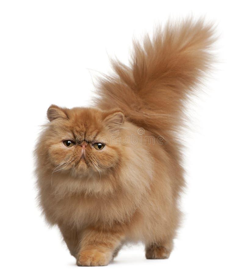 波斯语6个小猫的月 免版税库存图片