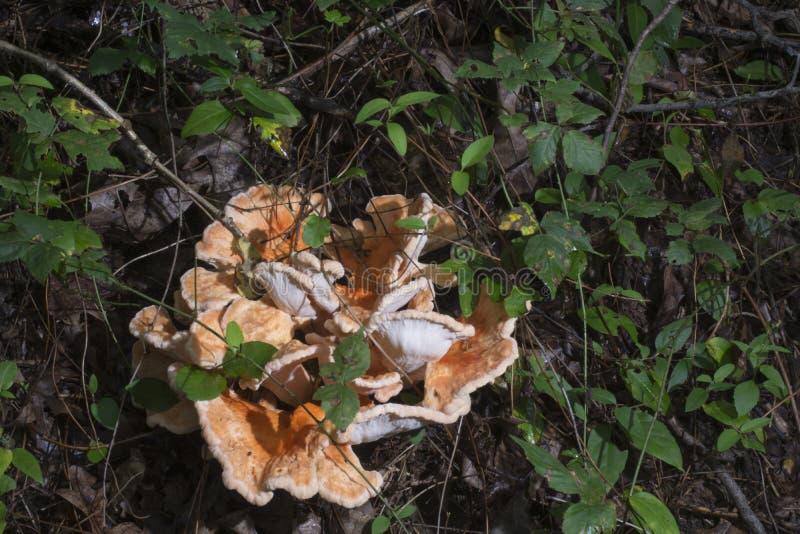 波浪橙色真菌 免版税库存照片