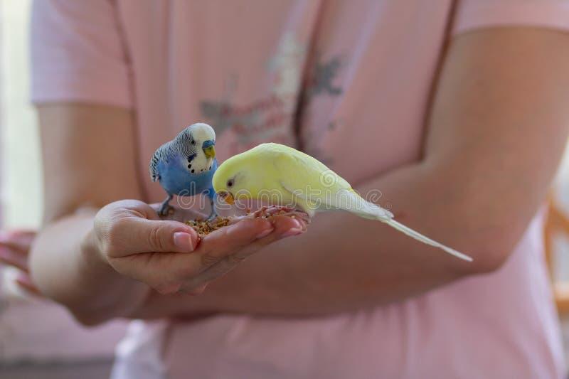 波浪鹦鹉吃用人的手 图库摄影