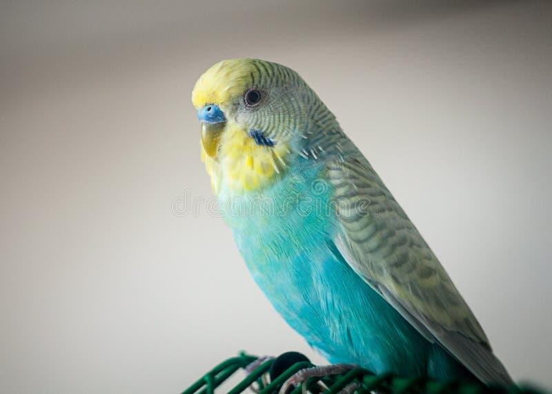 波浪鹦鹉蓝色颜色 免版税库存图片