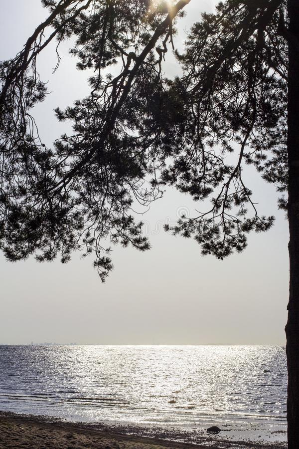 波罗的海海岸看法通过杉木分支反对日落,芬兰湾,斯堪的那维亚背景  免版税库存图片