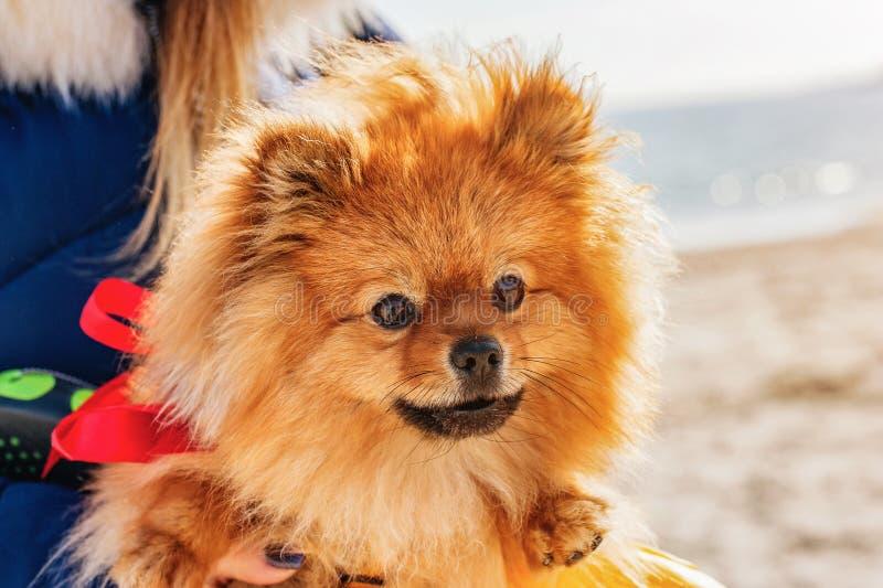 波美丝毛狗坐有红色弓的一只手在海滩 免版税库存图片