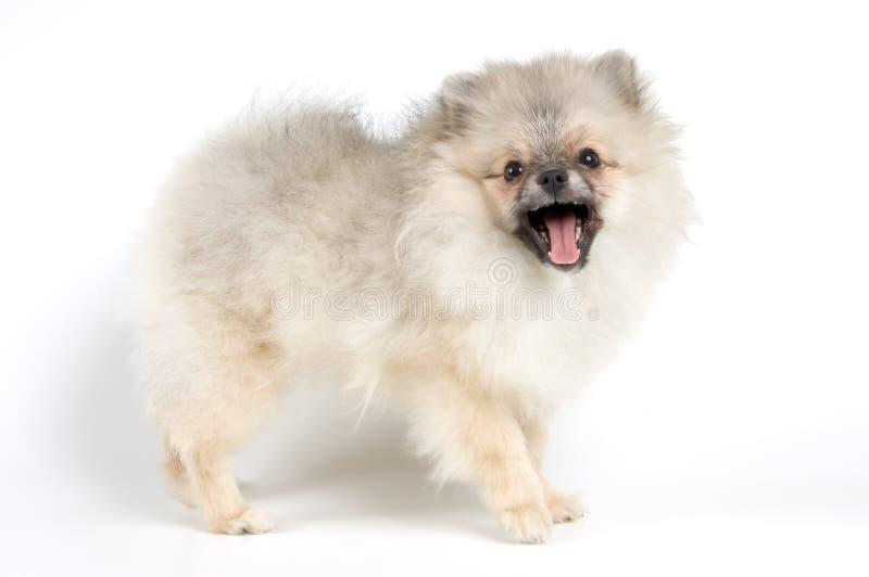 波美丝毛狗狗的小狗 免版税库存照片