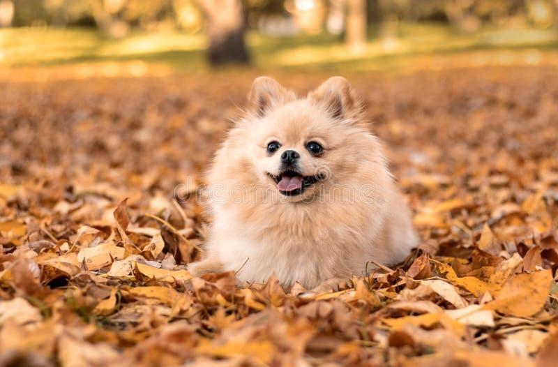 波美拉尼亚的spitz在秋季公园散步 街上的狗 一只漂亮的狗在微笑 动物保护日 库存照片