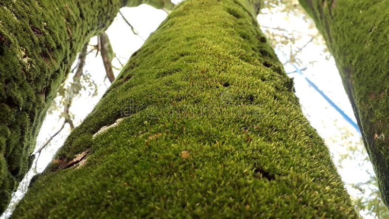 泥沙盖的三棵绿色树 库存图片