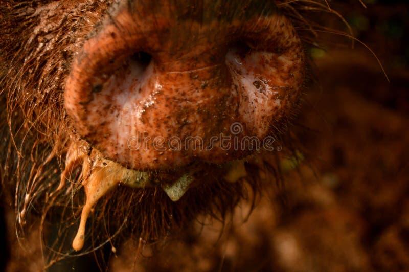 泥泞的口鼻部 免版税图库摄影