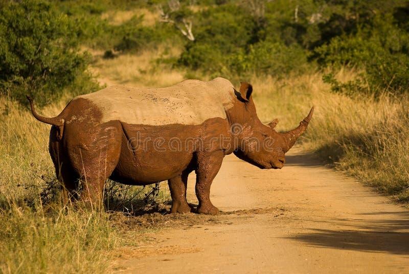 泥泞的犀牛 免版税图库摄影