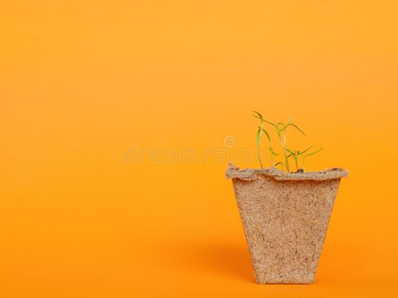 泥煤罐的小生长植物在与拷贝的橙色背景 免版税库存照片