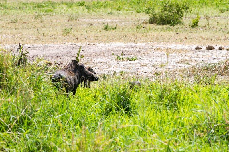 泥的共同的warthog非洲野猪属非洲人 免版税库存图片