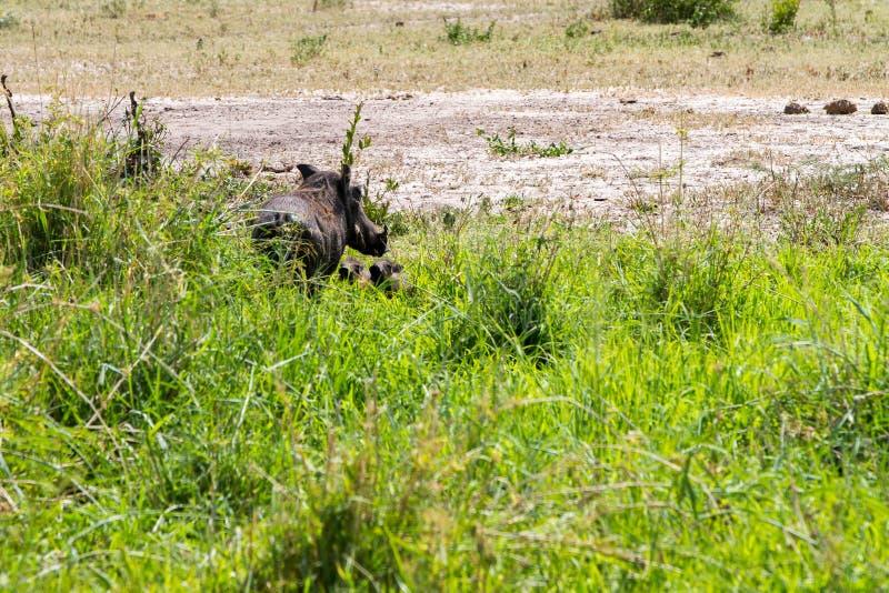 泥的共同的warthog非洲野猪属非洲人 图库摄影