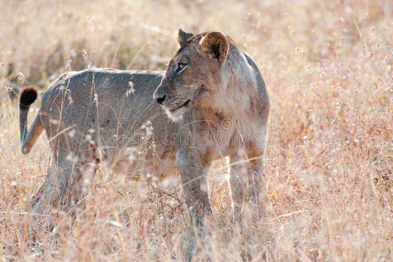 注意狮子-雌狮-在塞伦盖蒂,坦桑尼亚,非洲 库存照片