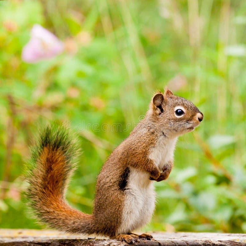注意美国好奇逗人喜爱的摆在的红松鼠 免版税图库摄影